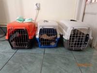 pisici sterilizate