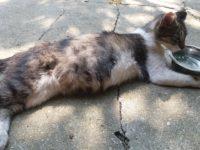 pisica ranita